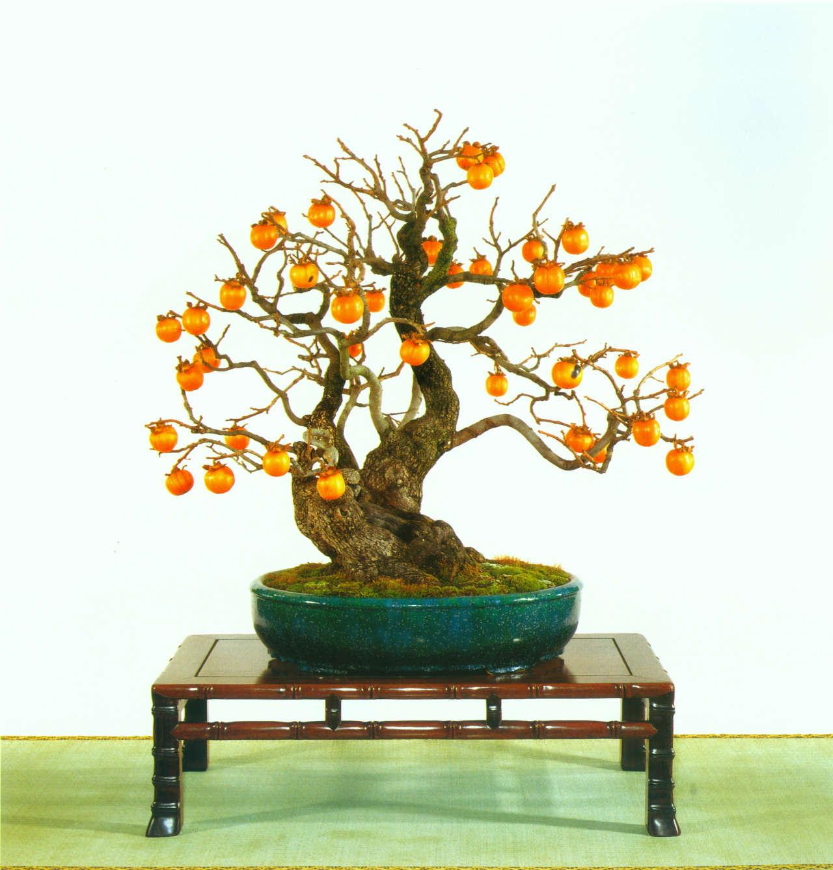 Periodo Migliore Per Potare Quercia bonsai di kaki | bonsai suiseki magazine